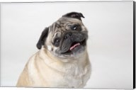 Pug Portrait On White Fine-Art Print