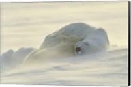 Polar Bear Rolling in the Snow Fine-Art Print