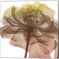 Rose Dawn 3 Fine-Art Print