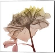Rose Dawn 4 Fine-Art Print