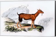 Female Goat Fine-Art Print