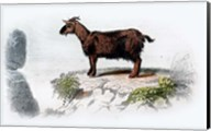 Goat I Fine-Art Print