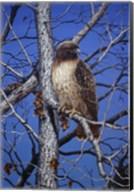 Red Tailed Hawk Fine-Art Print