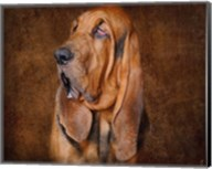 Bloodhound Portrait Fine-Art Print
