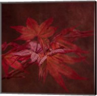 Japanese Maple Fine-Art Print