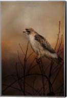 Red Tail In Wait Fine-Art Print