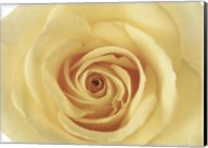 Rose In Bloom Fine-Art Print