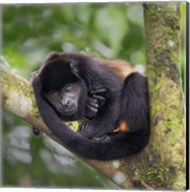 Black Howler Monkey, Sarapiqui, Costa Rica Fine-Art Print