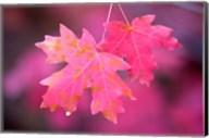 Autumn Color Maple Tree Leaves Fine-Art Print