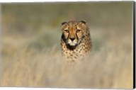 Cheetah, Etosha National Park, Namibia Fine-Art Print