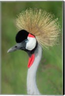Grey Crowned Crane, Ngorongoro Crater, Tanzania Fine-Art Print