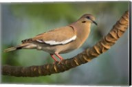 White-Winged Dove, Tarcoles River, Costa Rica Fine-Art Print