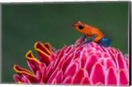 Strawberry Poison-Dart Frog, Sarapiqui, Costa Rica Fine-Art Print