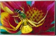 Goldenrod Crab Spider Fine-Art Print