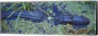Alligator Swimming in a River, Florida Fine-Art Print