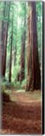 Redwood Trees, St Park Humbolt, CO Fine-Art Print