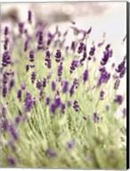 Lavender 2 Fine-Art Print