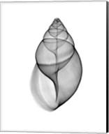 Achatina Jpn Land Snail  X-Ray Fine-Art Print