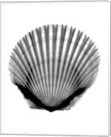 Scallop #3 X-Ray Fine-Art Print