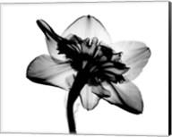 Daffodil #1 X-Ray Fine-Art Print