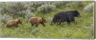 Sow and Cubs Walking Fine-Art Print