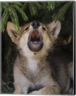 Wolf Pup Howls Fine-Art Print