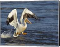 Pelican GIO Fine-Art Print