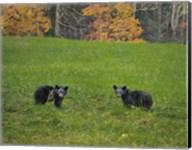 Black Bear Cubs Fine-Art Print