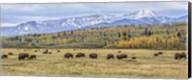 Grand Teton Bison Grazing Fine-Art Print