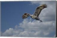 Sandhill Crane In Flight Fine-Art Print