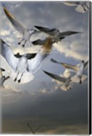 White Doves Flying in Sky Fine-Art Print