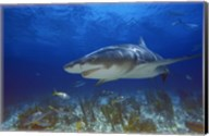 Shark Swimming Under Water Fine-Art Print