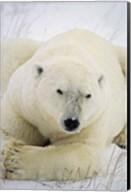 Great White Polar Bear Fine-Art Print