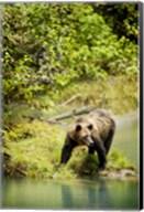Brown Bear near Lake Fine-Art Print