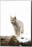 Furry Bobcat in Snow Fine-Art Print