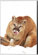 Yellow Bobcat with Open Mouth Fine-Art Print