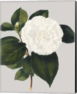 Camellia Japonica II Fine-Art Print