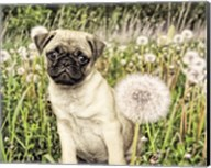 Pug with Dandelion Fine-Art Print
