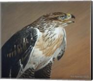 Ferruginous Hawk Fine-Art Print