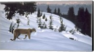 Cougar In Snow Fine-Art Print