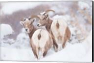Bighorns Two Fine-Art Print