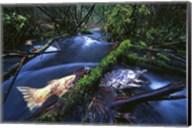 Salmon Trapped Fine-Art Print