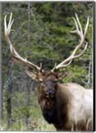 Large Elk Fine-Art Print