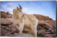 Billy Goat Scruff Fine-Art Print