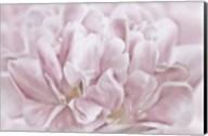 Double Pink Tulip Fine-Art Print