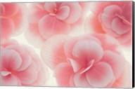Rose Begonia Flowers Fine-Art Print