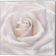 Soft White Rose Fine-Art Print