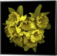 Explosion In Yellow - Daffodils Fine-Art Print