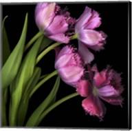 Pink Tulips 2 Fine-Art Print