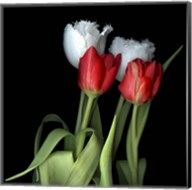 Tulips From Amsterdam Fine-Art Print